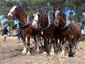 stock photo of clydesdale  - Six Horse Team waiting to continue ploughing - JPG