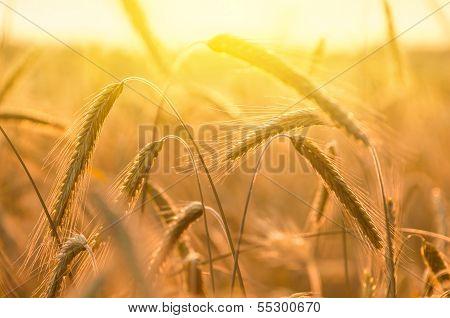 Ripe rye