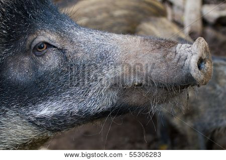 Boar Close Up