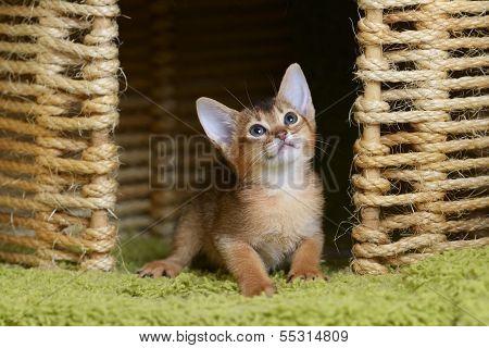 Portrait Of A Cute Somali Kitten