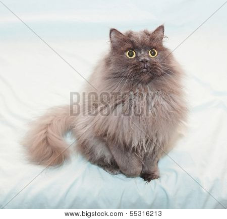 Fluffy Black Smoky Cat With Yellow Eyes Sitting