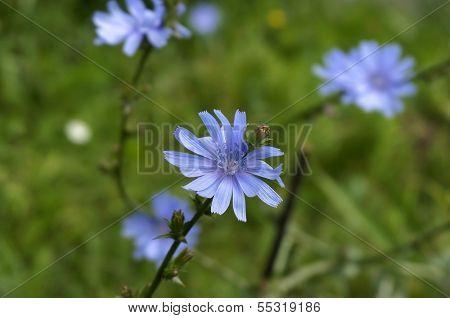 Close up Blue Chicory flower (Cichorium intybus)