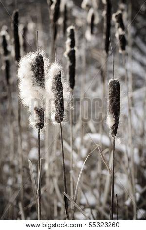 Cattails In Winter