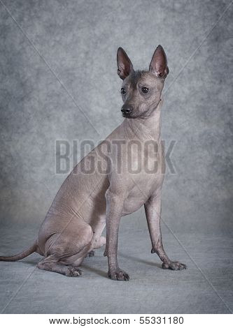Xoloitzcuintle Male Dog Sitting Against Grey Background