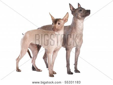 Hairless Xoloitzcuintle Dogs Isolated On White