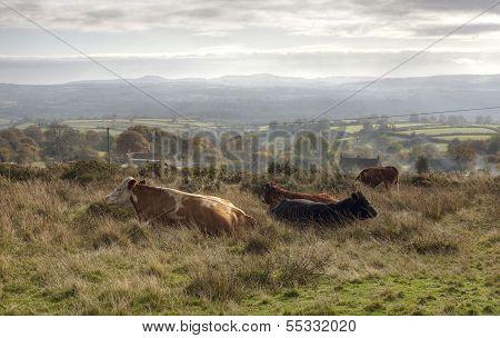 Shropshire Cattle