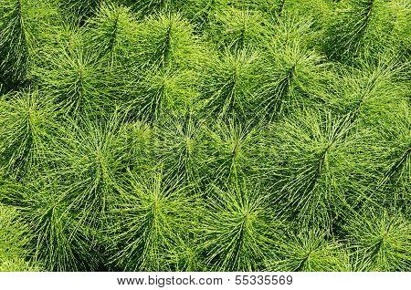 Medicinal Herb Field Horsetail