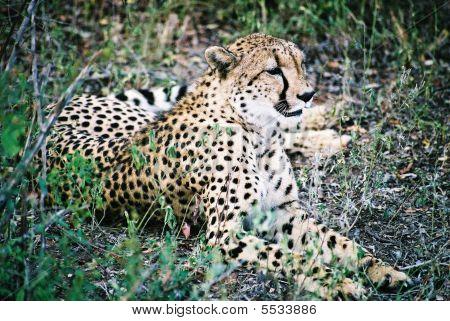 Cheetah In Grass