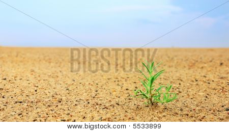 Seedling In Desert