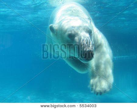 Swimming Polar Bear