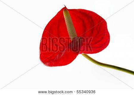 Red anthurium or flamingo flower