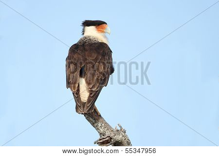 Adult Crested Caracara Perched On A Dead Branch