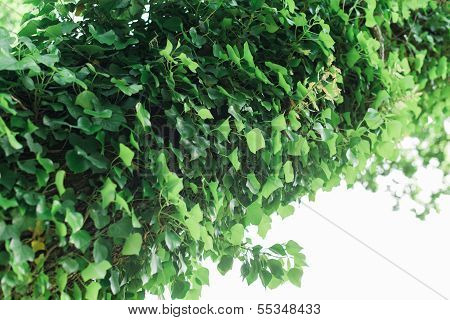 Ivy Covered Trunk Of A Tree
