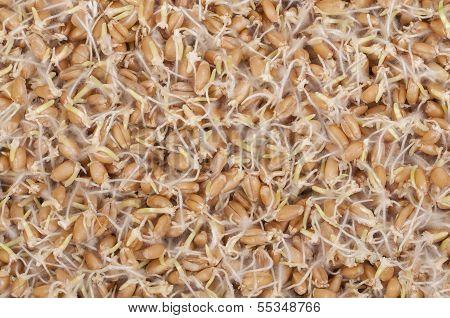 Auswuchs Weizen