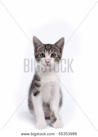 Young Ten Weeks Old Shorthaired Grey And White Striped Kitten