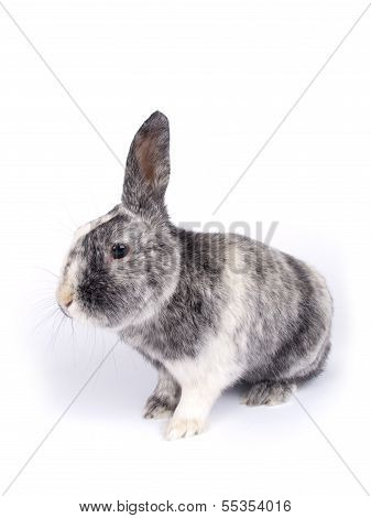 Cute Six Year Old Crossbreed Of A Holland Lob And A Flemish Giant (oryctolagus Cuniculus)