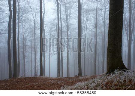 In Frosty Beechwood
