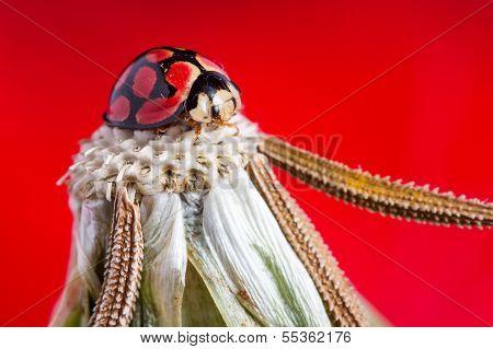 Cabeça-leão com uma Lady Bug na parte superior e vermelha