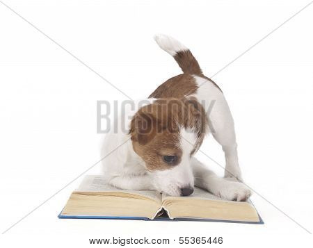 Jack Russell Terrier In The Studio On A White Background