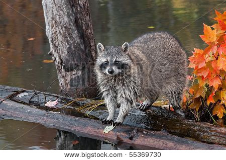 Raccoon (Procyon lotor) Looks Out At Viewer