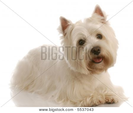 Westie Laying Down