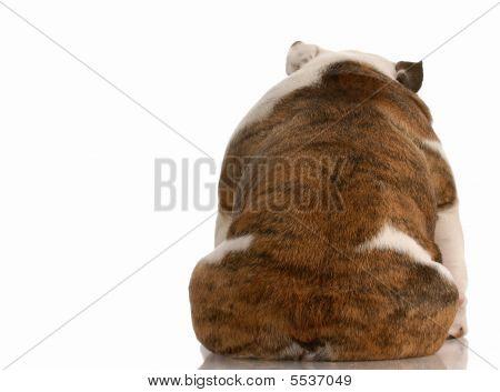 Bulldog From The Backside