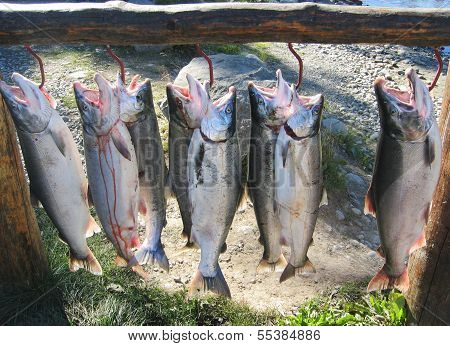 Alaskan silver salmon catch