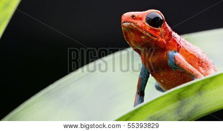 Red and blue strawberry frog from the tropical rainforest of Panama and Costa Rica. Beautiful small poisonous animal, Dendrobates pumilio Valiente