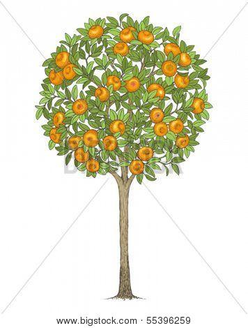 Mandarin tree, hand drawn color illustration.