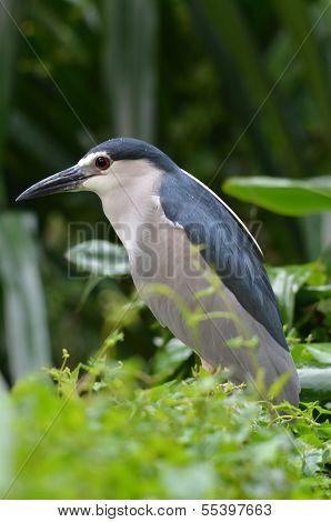 Night heron in wild