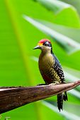 picture of woodpecker  - closeup of a black  - JPG