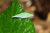 image of hoppers  - large grass hopper resting on a large green leaf at night - JPG