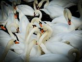 image of swim meet  - group of swan meet in the middle of the flock.
