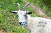 stock photo of billy goat  - Billy goat pauses while chewing up a tin can - JPG