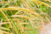 stock photo of pampas grass  - wild pampas grass closeup in the rainforest of Belize - JPG