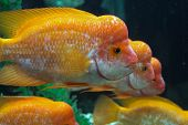 stock photo of hump  - three heads of yellow hump sea fish - JPG