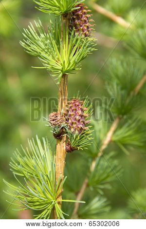 Branch Of Larch Tree With Cone