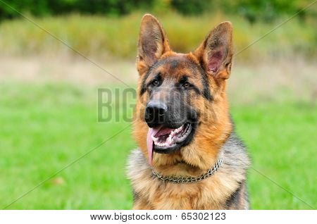 German Shepherd,male.