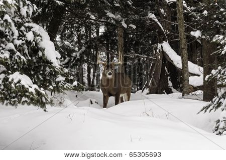Buck deer in a snowy, winter landscape