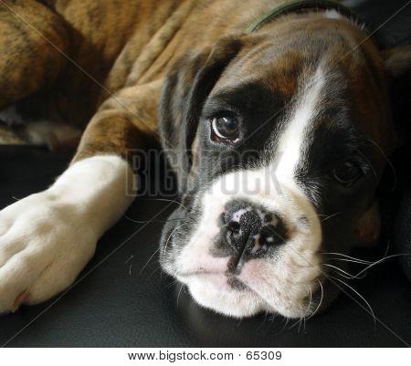 Boxer Welpen