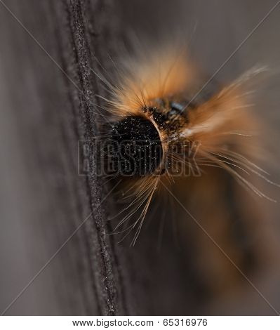 Close up of a Tent Caterpillar