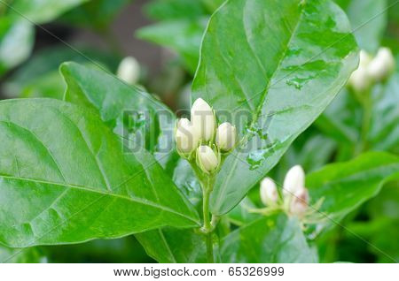 Buds Of  Arabian Jasmine