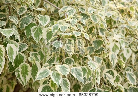 Euonymus Fortunei,the Tree Of Two Color On Leaves.