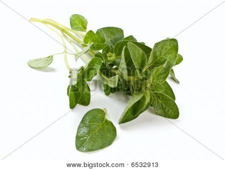 Fresh Green Oregano Herb
