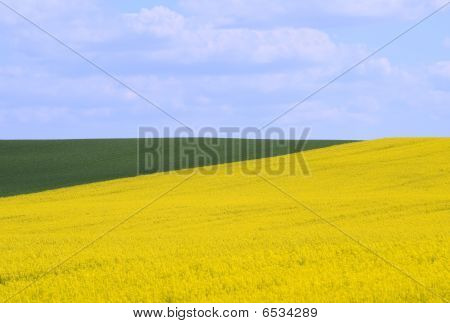 Cornfields in the springtime