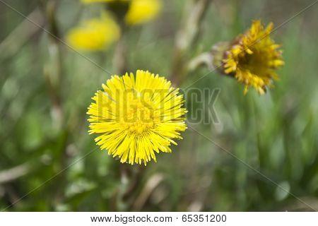 Flower Of Foalfoot