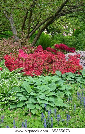 Colorful Spring Azaleas And Hosta Plants