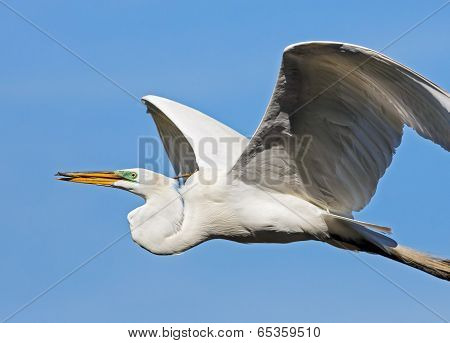 Great Egret Carries Stick