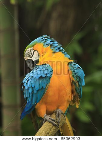 Macaw birds preening it's plumage