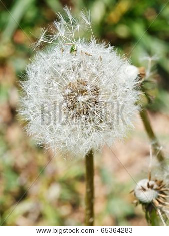 Seed Head Of Taraxacum Blowball